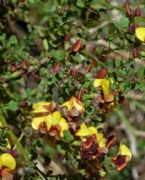 Bossiaea obcordata