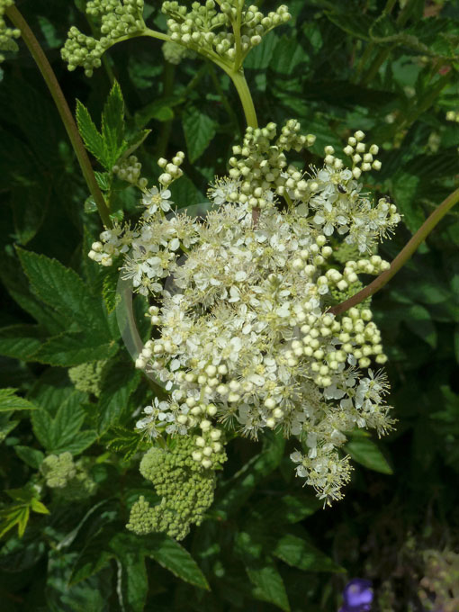Filipendula Ulmaria Meadowsweet Queen Of The Meadow