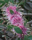 Hakea Burrendong Beauty