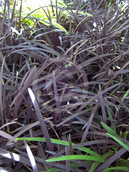 ophiopogon planiscapus nigrescens black mondo grass information photos. Black Bedroom Furniture Sets. Home Design Ideas
