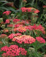 Achillea The Beacon
