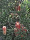 Banksia ericifolia White Candles