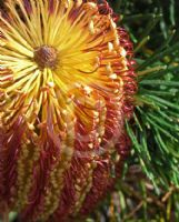 Banksia spinulosa spinulosa Cherry Candles