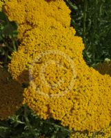 Achillea Coronation Gold