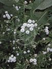 Achillea ptarmica (The Pearl Group) The Pearl
