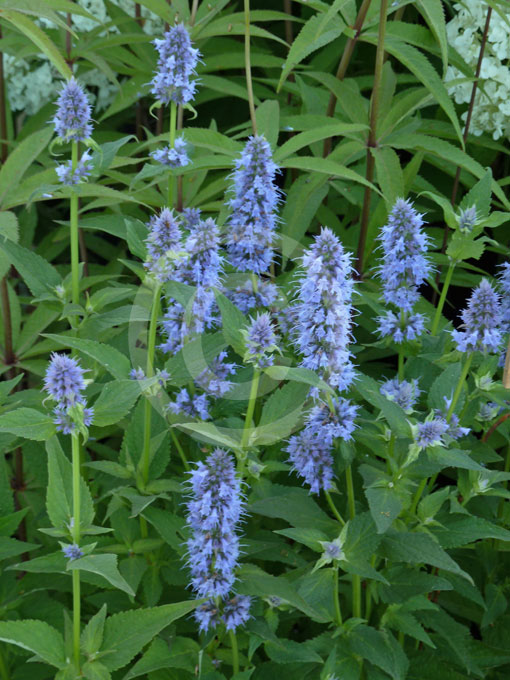 agastache blue fortune blue fortune anise hyssop hummingbird mint information photos. Black Bedroom Furniture Sets. Home Design Ideas