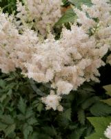 Astilbe White Wings