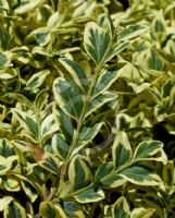 Buxus sempervirens Aureovariegata