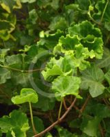 Hedera helix Parsley Crested