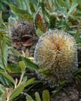 Banksia serrata (prostrate)
