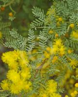 Acacia chinchillensis