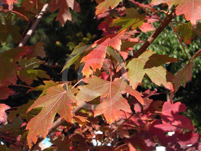 Acer Freemanii Autumn Blaze Autumn Blaze Maple Information Photos