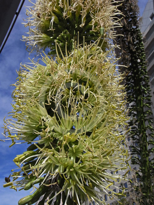 Agave Attenuata Century Plant Information Amp Photos