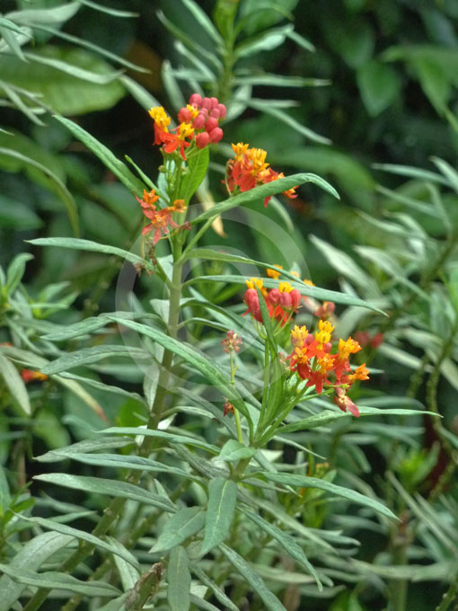 Red Butterfly Milkweed Asclepias Curassavica Red: Blood Flower, Butterfly Weed, Red